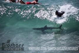 Un requin parmi les surfers !